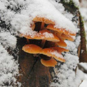 зимние опята зимой
