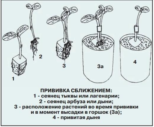 прививка дыни на тыкву язычком