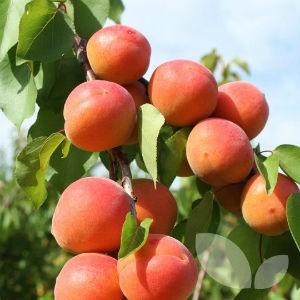 размножение деревьев семенами
