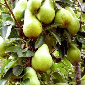 дерево груша