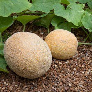 плоды дыни на грядке