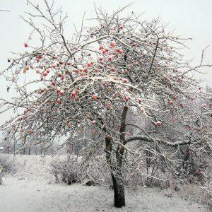 яблоня с яблоками зимой