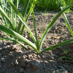 растение лука-порея