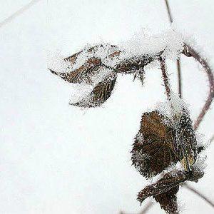 листья малины зимой