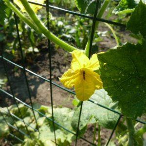 цветок огурца с осой внутри