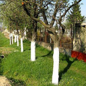 деревья с побелкой