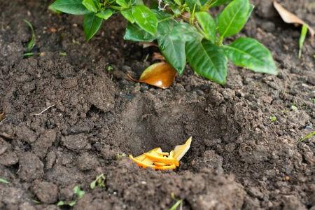 апельсиновые корки применение на огороде