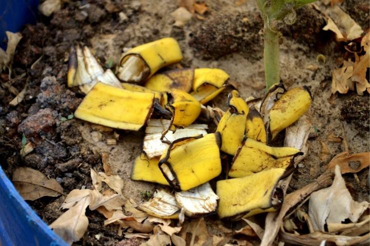 банановая кожура как подкормка для рассады перца и томата