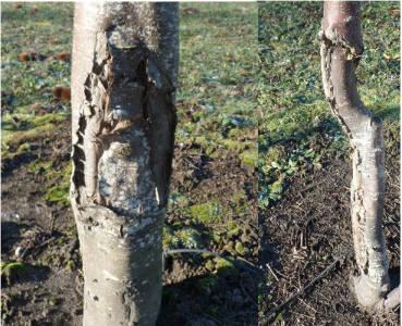 поврежденные морозом деревья