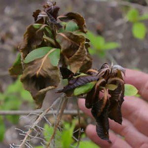 поврежденные морозом листья
