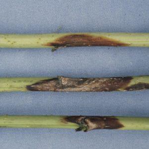 пурпуровая пятнистость малины на стебле