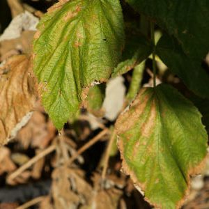пурпуровая пятнистость на листьях малины