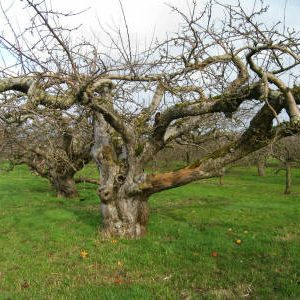 яблони в саду в марте