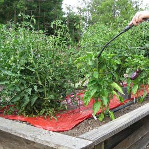 опрыскивание томатов из распылителя
