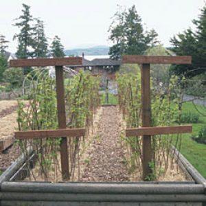 выращивание малины на древесине