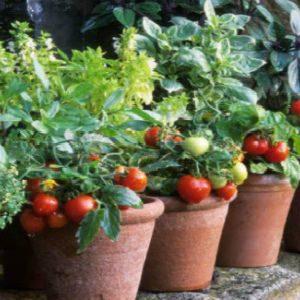 томаты с плодами в горшках