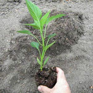 растение перца в руке