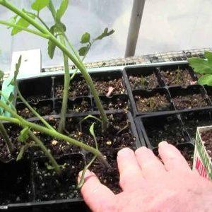 вытянувшиеся сеянцы томата