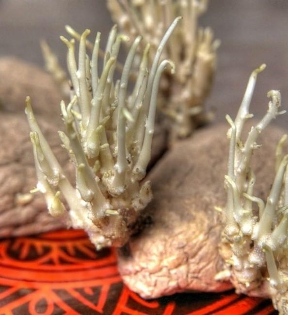 переросшие клубни картошки