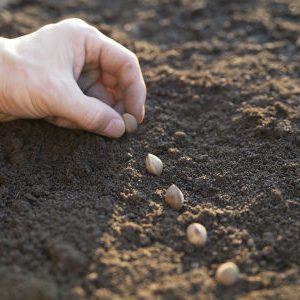 посев семян на открытую грядку