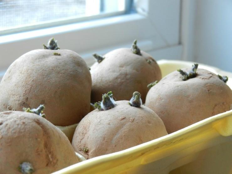 сухое проращивание картошки