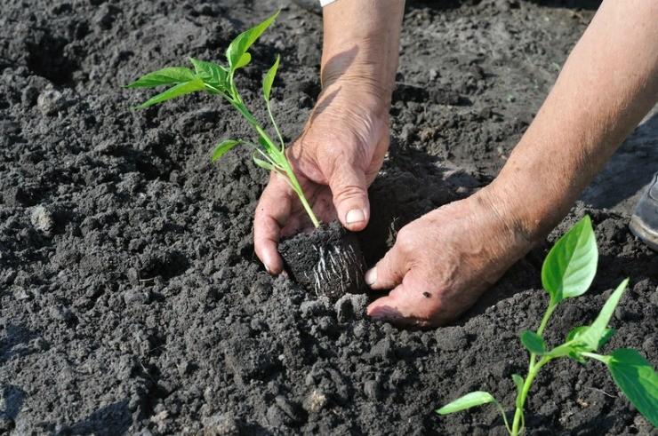 как высаживать рассаду перца в грунт