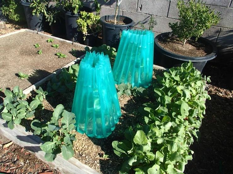 защита томата от холода