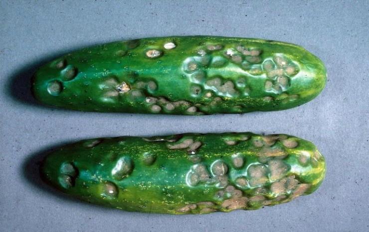антракноз на плодах огурца