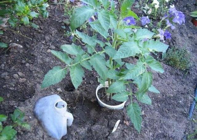 выращивание томатов в земле в горшке