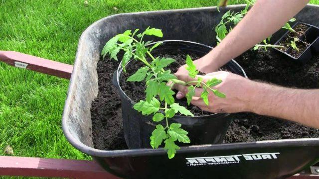посадка томатов в вёдра