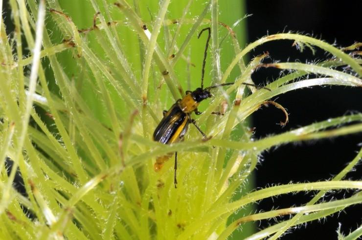 западный кукурузный жук