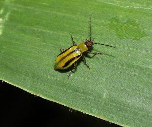 западный кукурузный жук способы борьбы