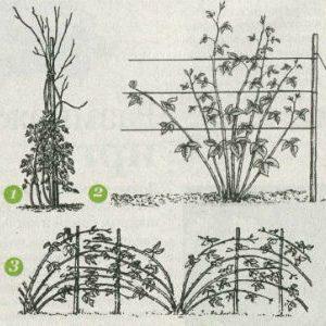 способы подвязки малины