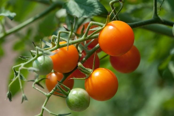томаты черри Сан Голд