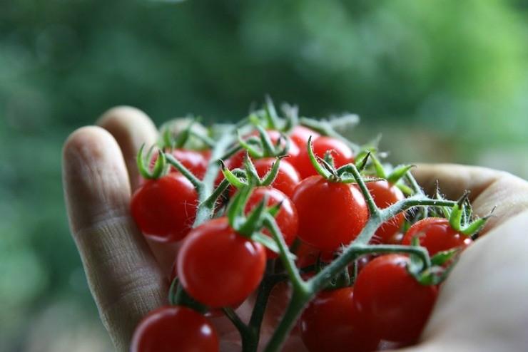 плоды черри в ладони