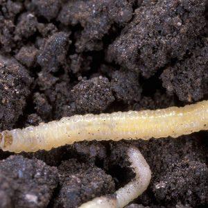 личинка западного кукурузного жука