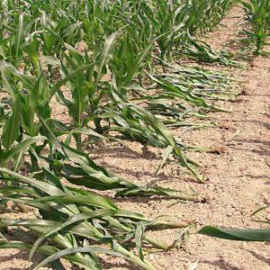 посадки кукурузы пораженные жуком