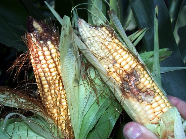 жук испортил початки кукурузы
