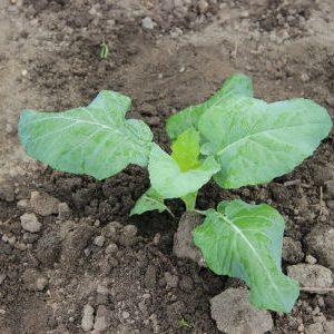 выращивание цветной капусты без рассады