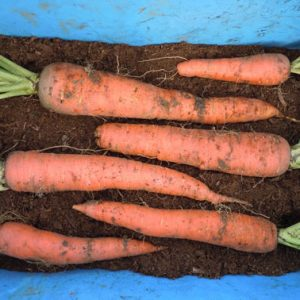 пескование корнеплодов моркови