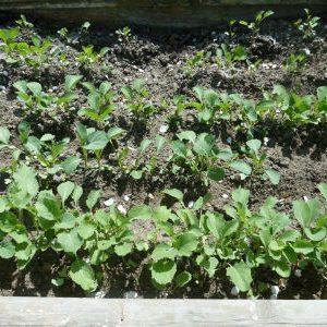 раннеспелые сорта капусты