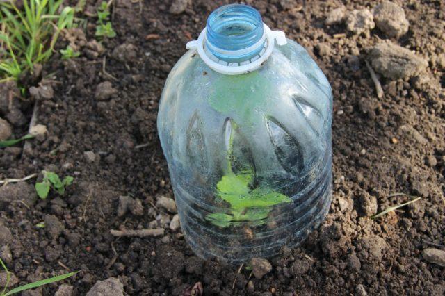цветная капуста под бутылкой