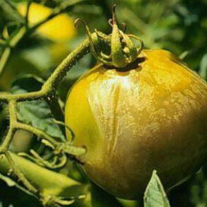 плод томата, поврежденный водянистой гнилью