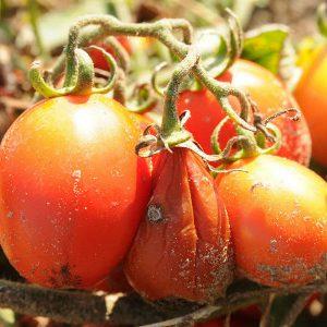 водянистая гниль томатов