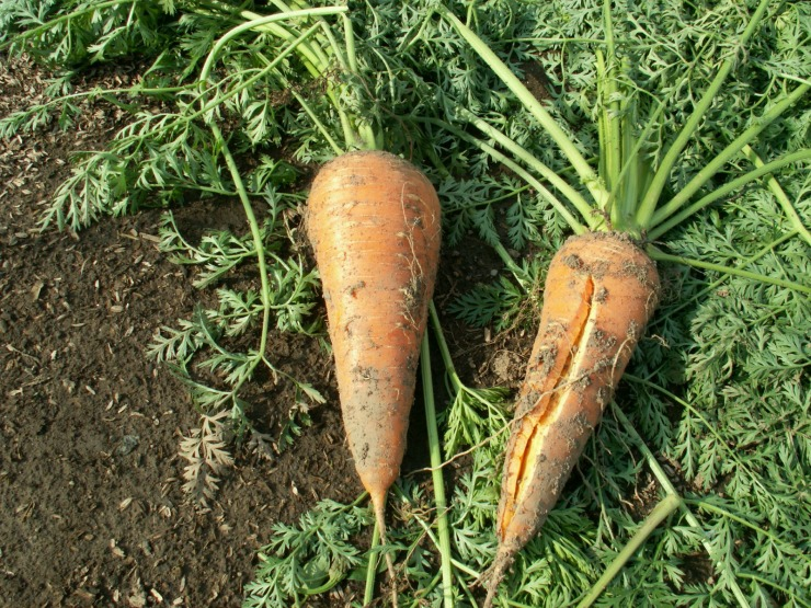 корнеплоды моркови после уборки