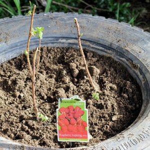 выращивание малины в покрышках