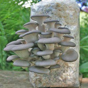 грибы вешенки в мешке
