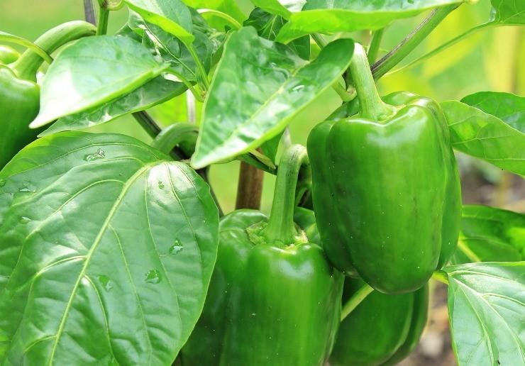 зелёные плоды перца не кусте