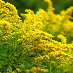 золотарник в цвету