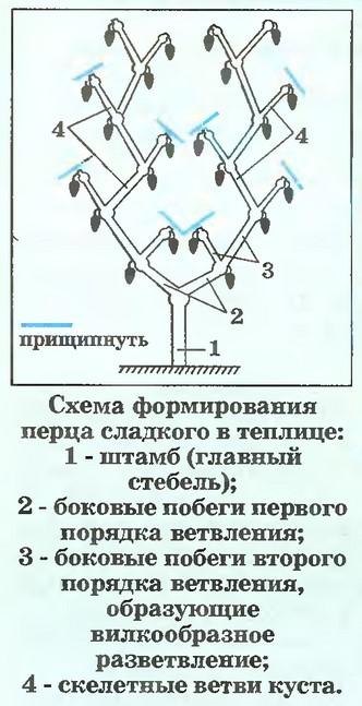 формирование перца в два стебля